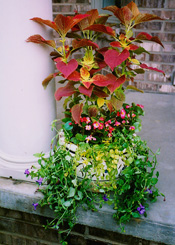 Coleus, Impatiens, and Creeping Jenny.