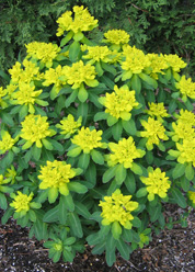 \'Cushion Spurge\' Euphorbia.