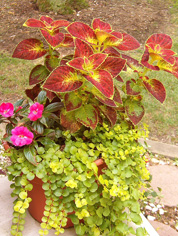 Coleus and Creeping Jenny.