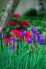 Siberian Iris, and Rhododendron.